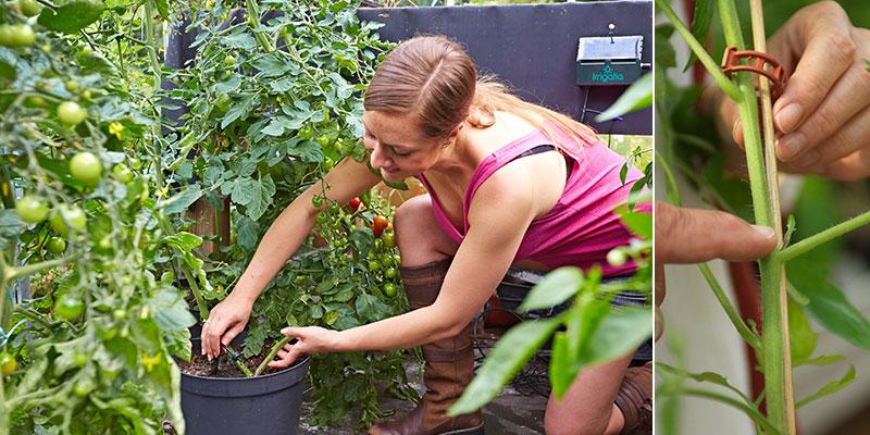 Vattning och tjusning av tomater i växthus