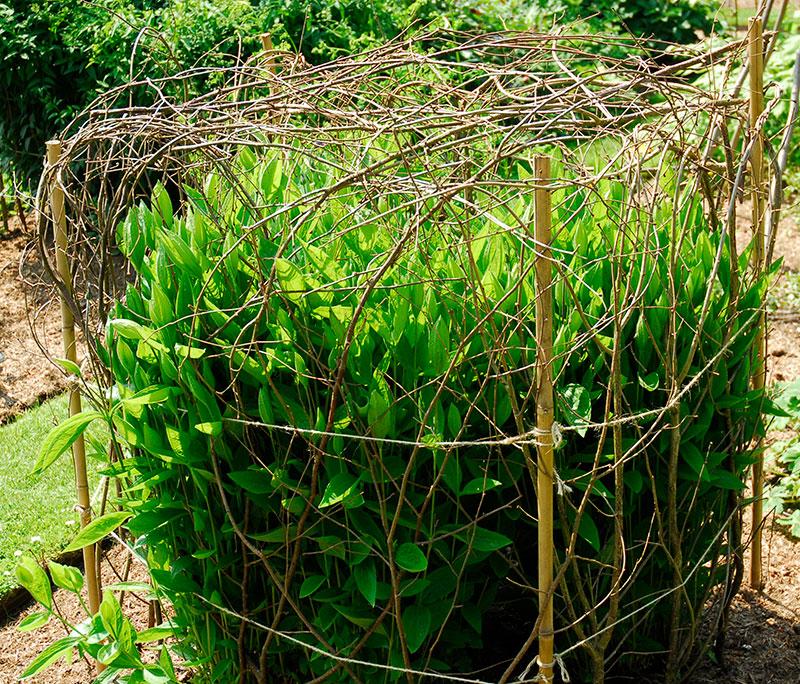Växtstöd av kvistar i trädgården