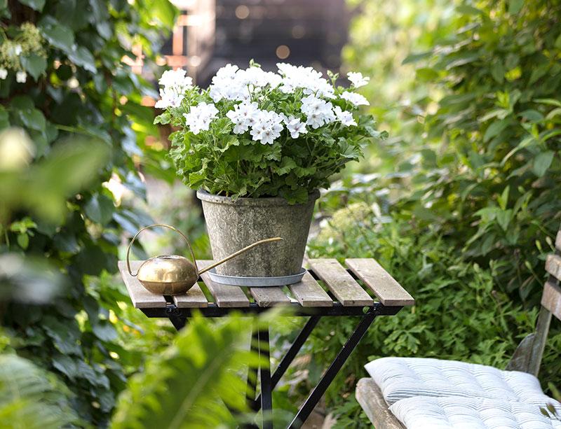 Pelargon i trädgård