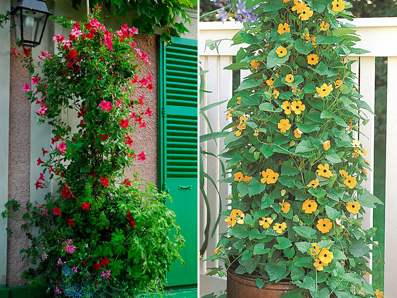 Klätterväxter i kruka MAndevillea svartöga