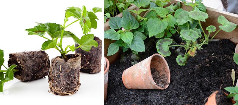 Plantering av pelargonstickling