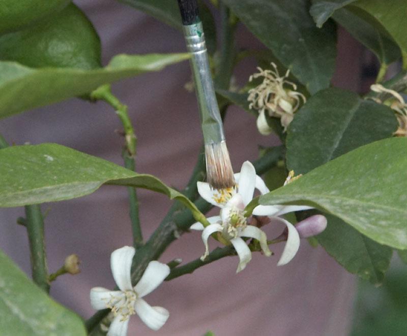 Pollinering av citronblomma med pensel