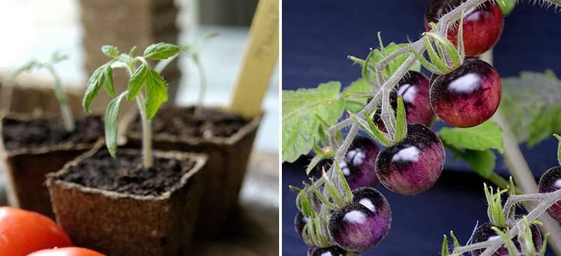 Sådd av tomatfrö Indigo Blue Berries