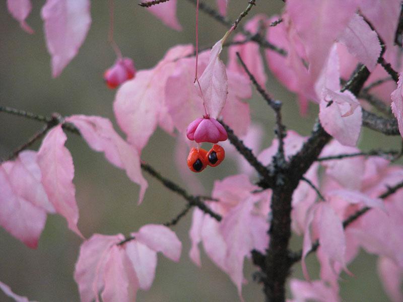 Euonymus, benved med frukt på hösten