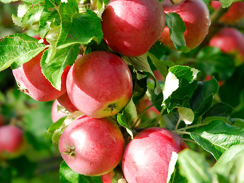 Skörd av äpple röd Aroma