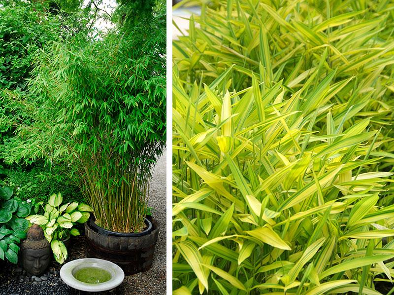 Bambu i kruka och rabatt