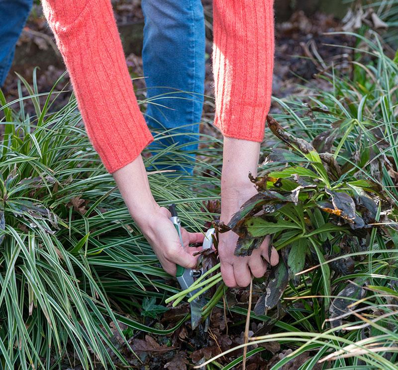 Klippning av perenner med sjuka blad julros