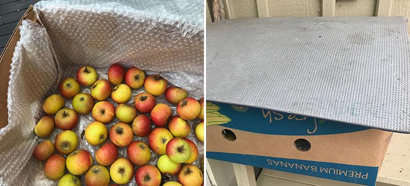 Skörd och lagring av äpplen