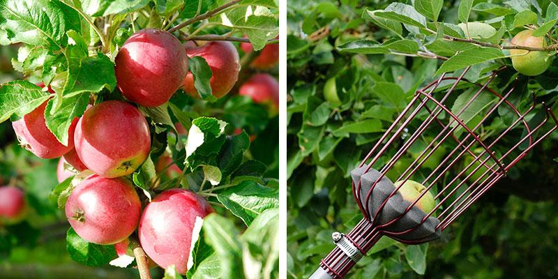Skörd av äpple Aroma med fruktplockare