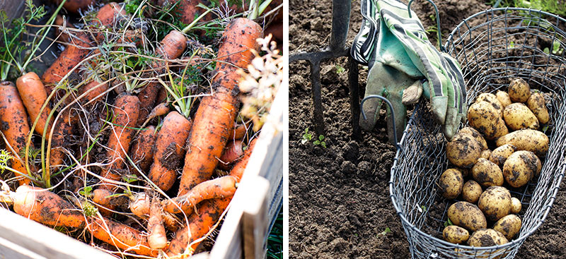 Skörd av morötter och potatis