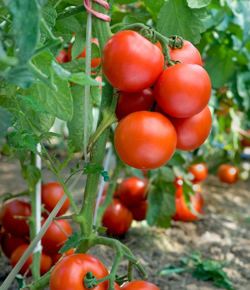 Tomatskörd i växthus