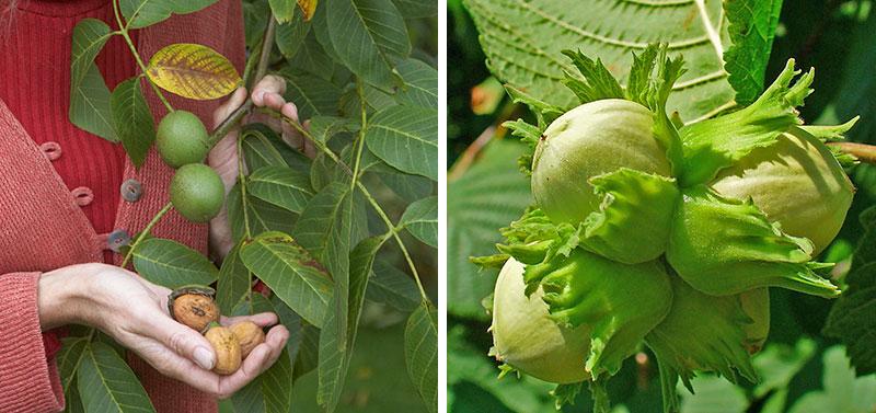Odling av nötter i trädgården som valnöt och hasselnöt