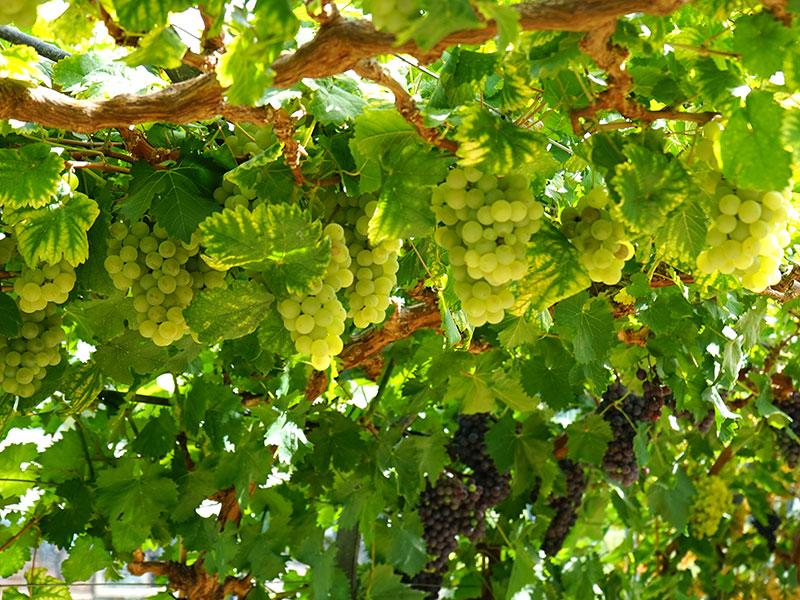 Vindruvor i växthus
