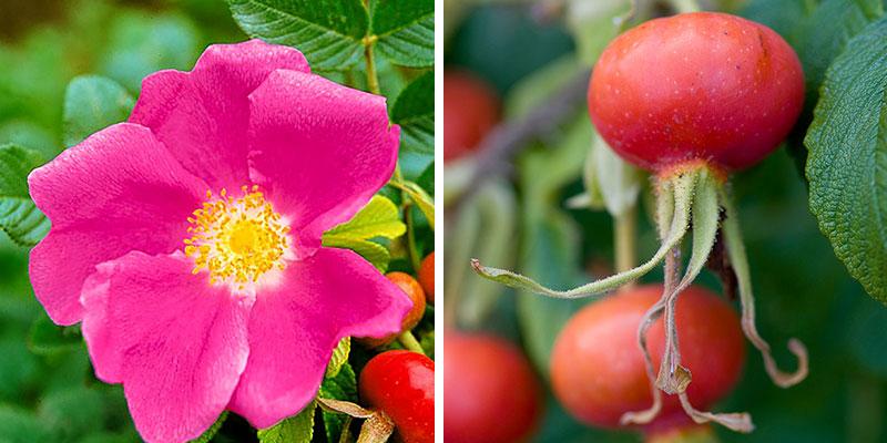 Vresros rosa rugosa med nypon