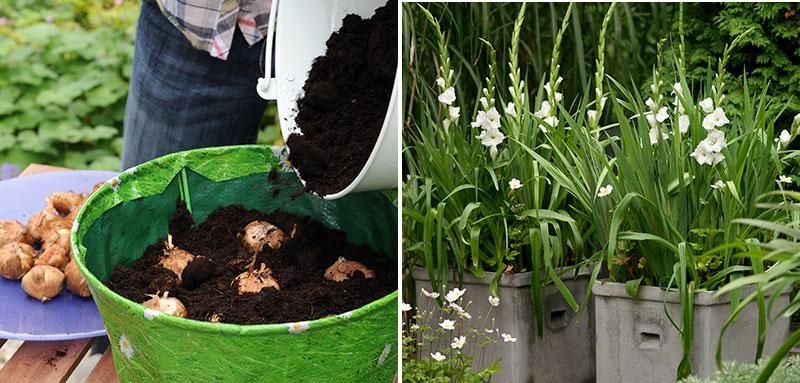 Plantering av sommarblommande knölväxter i kruka gladiolus