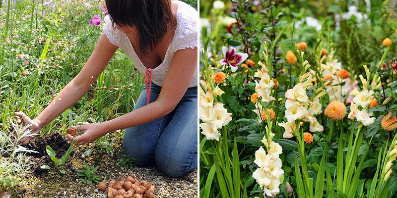 Plantering av gladiolusknölar