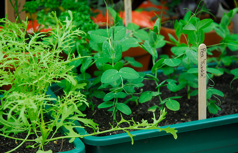 Bladgrönt på våren i växthus