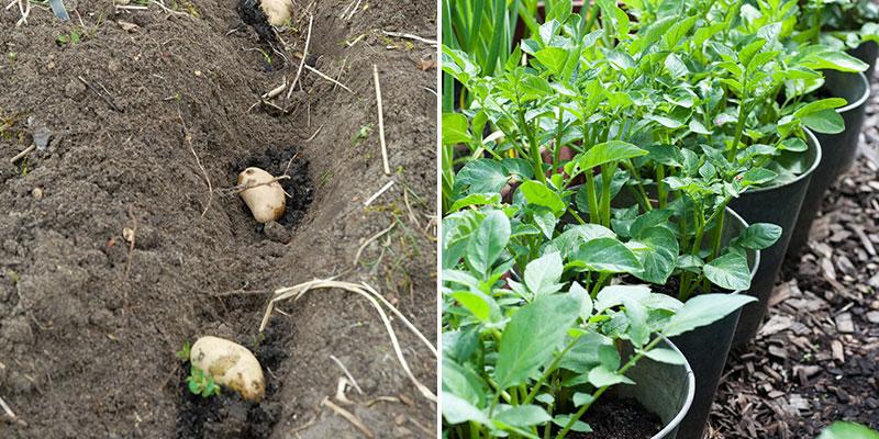 Sättning av potatis i kruka och i köksland