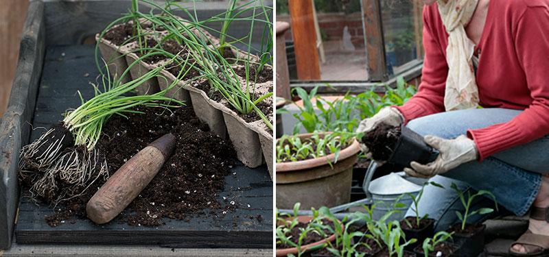 Utplantering av småplantor på våren