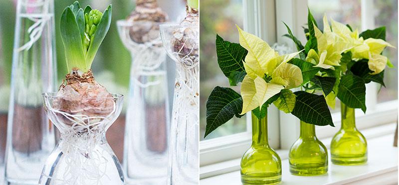 Hyacinter i hyacintglas och julstjärna som snittblomma