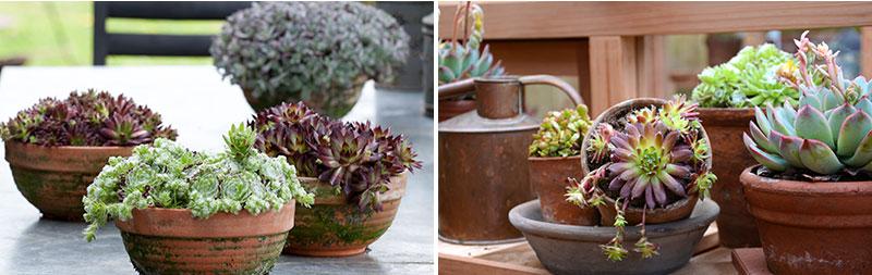 Fetbladsväxter i krukor