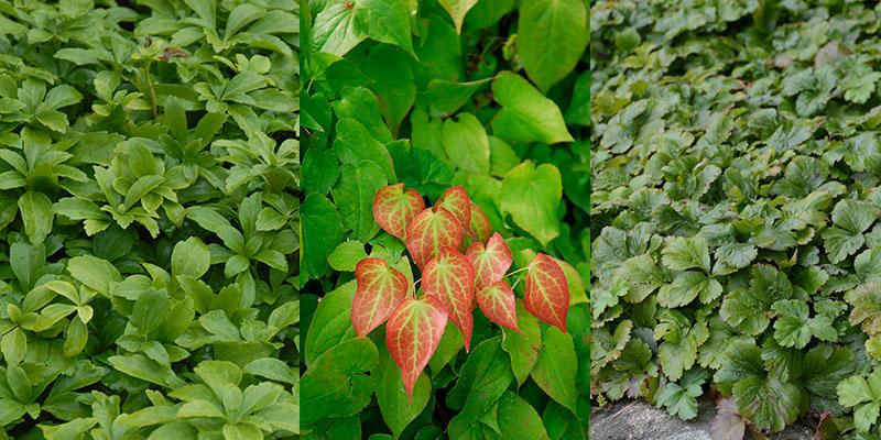 Vintergröna lättodlade perenner skuggorna, sockblomma och waldsteinia
