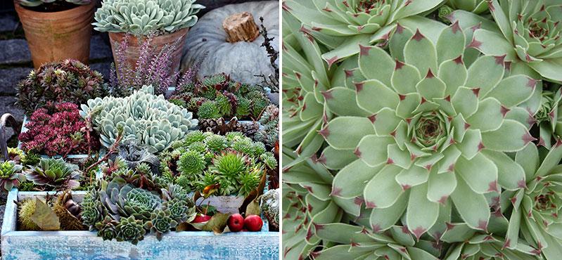 Fetbladsväxter i kruka och arrangemang