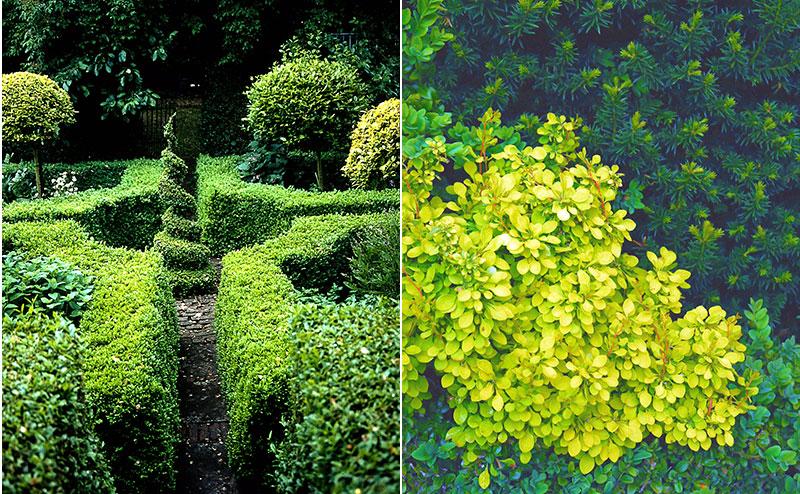 Vintergröna växter i trädgården buxbom, idegran, benved