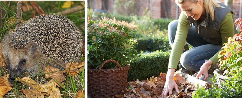 igelkott och löv på hösten
