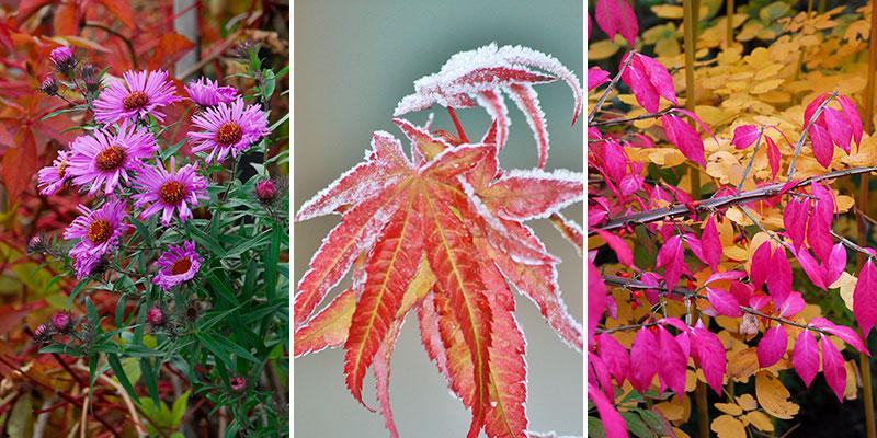 aster, lönn och benved på hösten