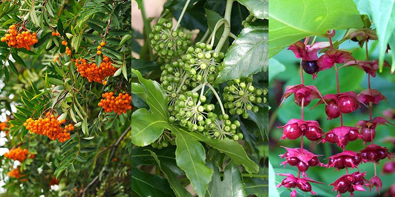 ullungrönn, murgröna och himalayakaprifol i oktober