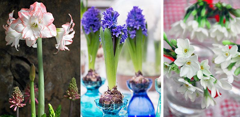 jullökar att driva amaryllis hyacinter tazetter
