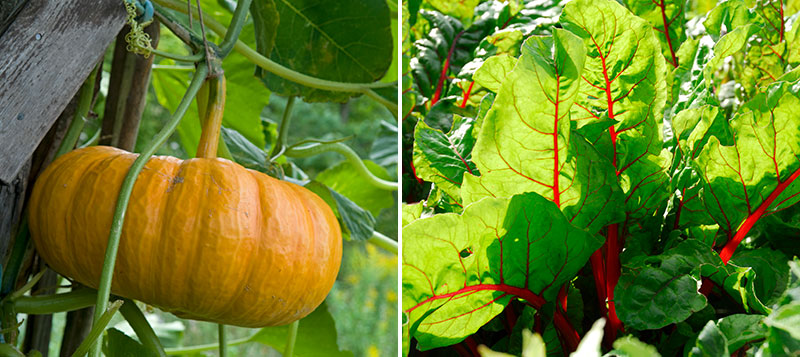 pumpa och mangold i trädgård