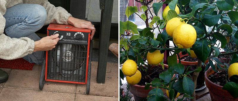 värmefläkt och citrusträd i växthus på vintern