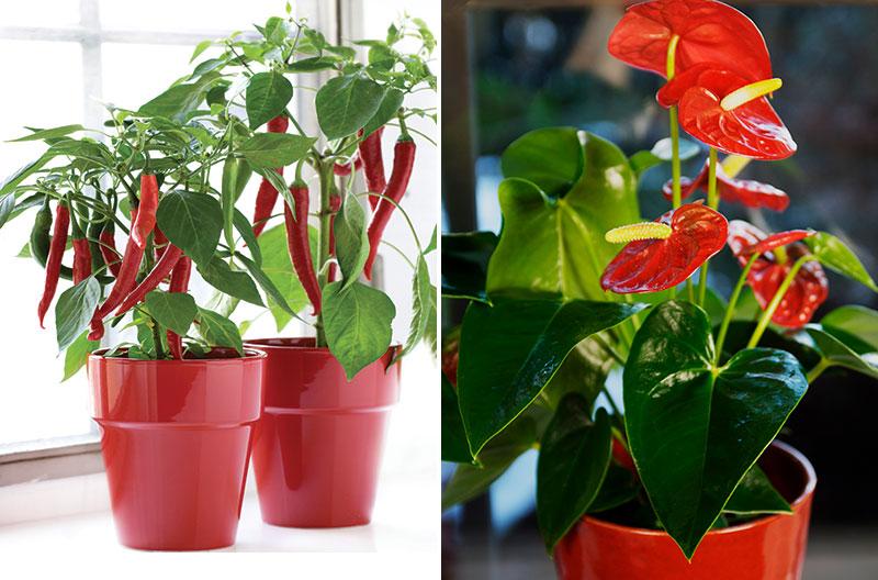 Chiliplanta som krukväxt och rosenkalla