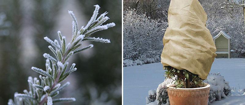 Rosmarin och lager i kruka med vinterskydd