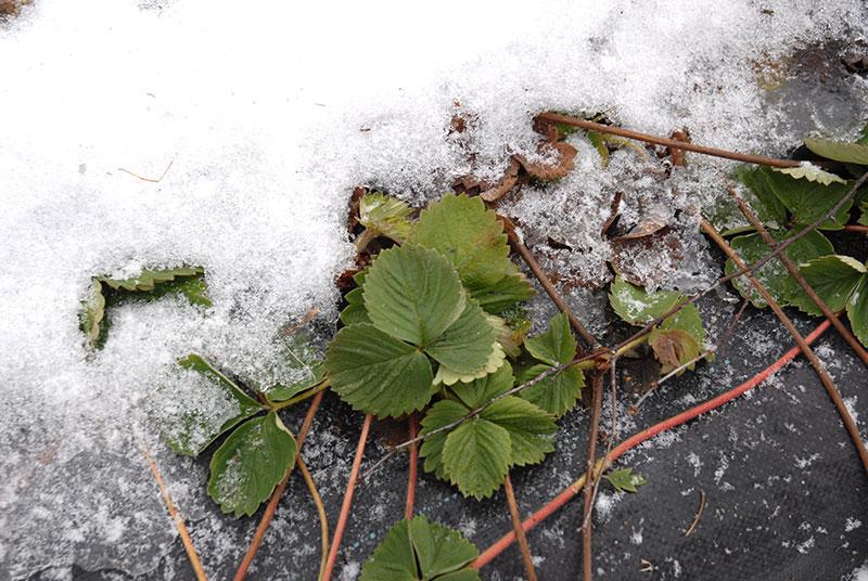 Jordgubbsplantor på vintern med markduk