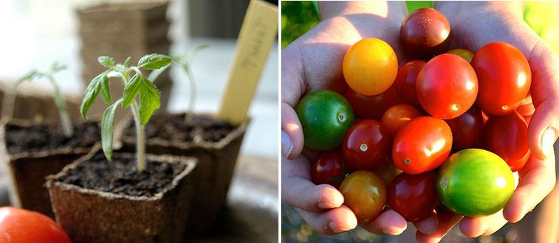 Sådd av tomatfrön