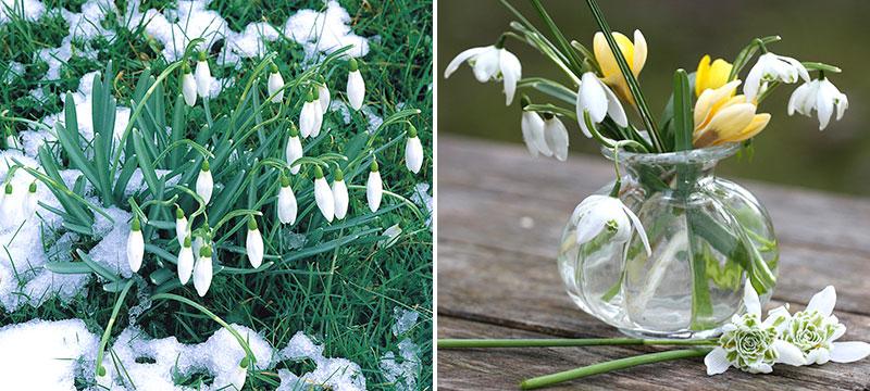 Snödroppar i trädgård och i vas