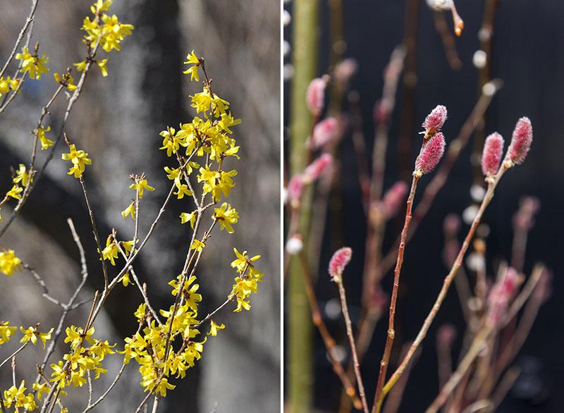 Drivning av kvistar forsythia och kvittenvide Salix