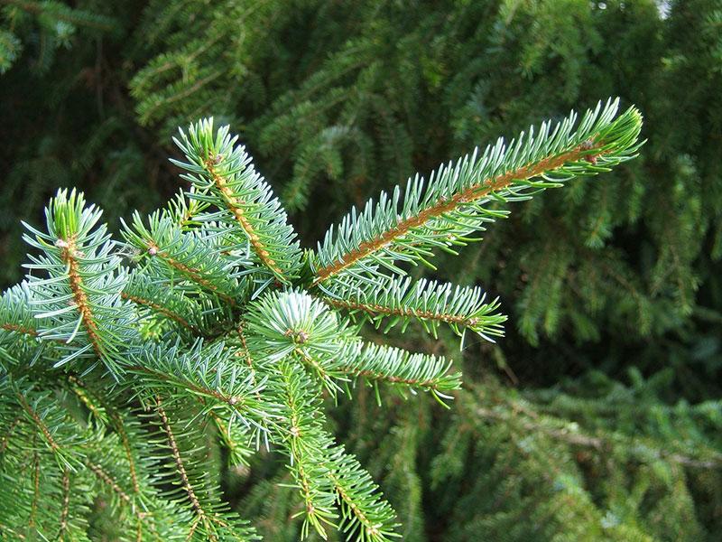 Omorikagran Picea omorika