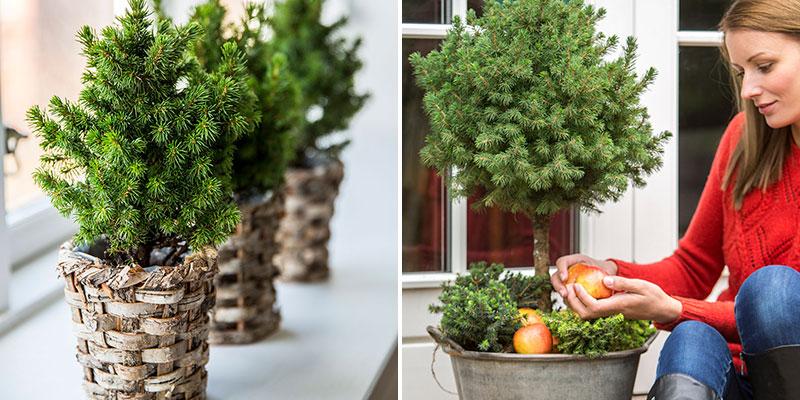 Sockertoppsgran Picea glauca minigran på balkong