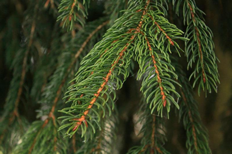 Rödgran Picea abies