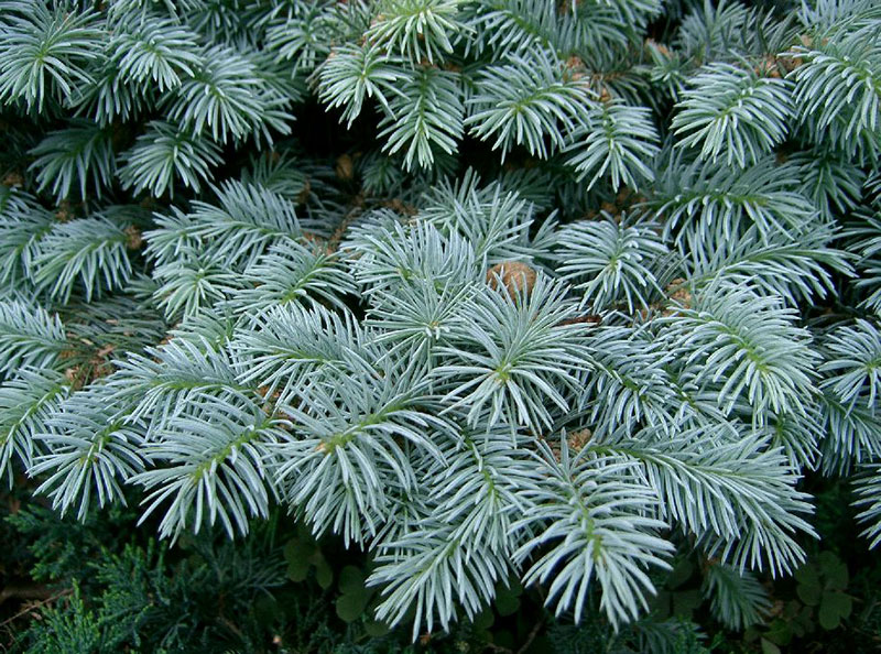 Blågran Picea pungens
