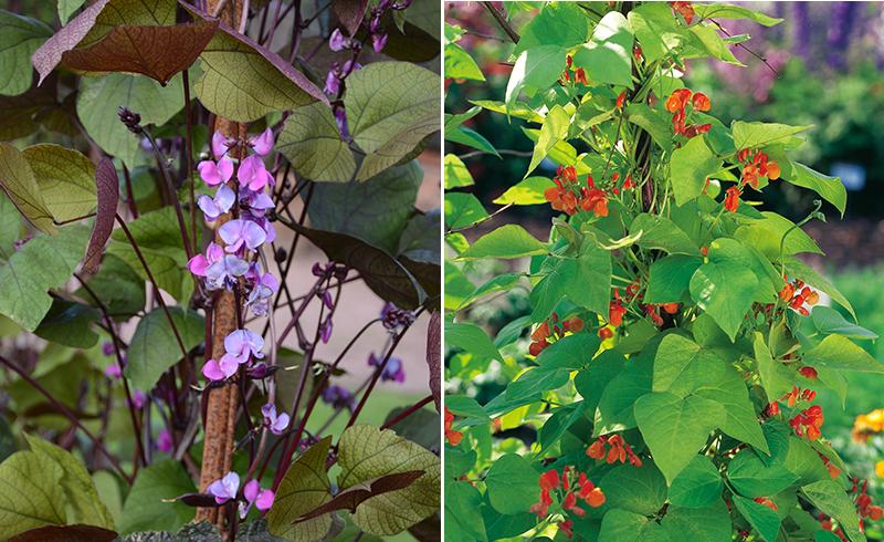 Purpurböna och rosenböna i blomrabatt