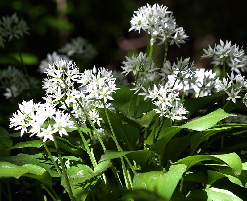 Ramslök i blom i rabatt