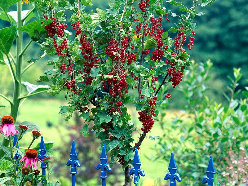 Vinbär på stam i rabatt