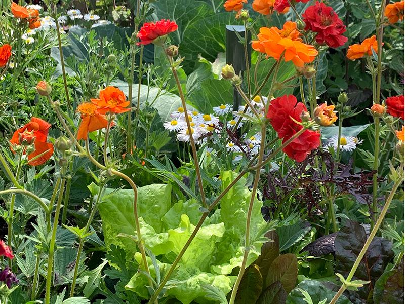 Samordning av sallat och blommor i rabatt