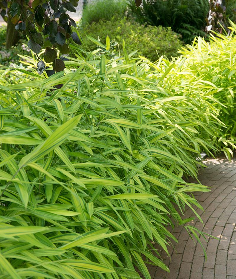Låg bambu som häckväxt