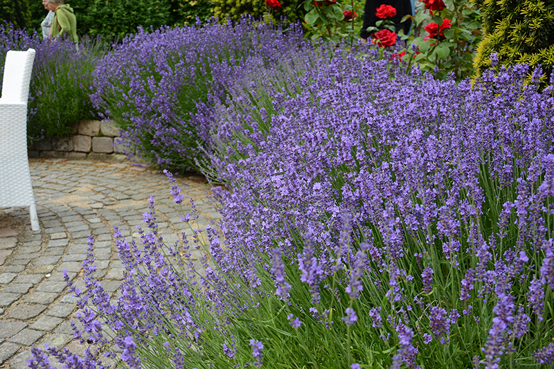 Häck av lavendel Lavandula angustifolia